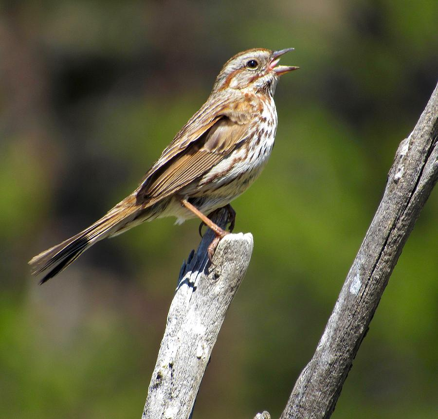 Classic Song Sparrow by Lukas Miller