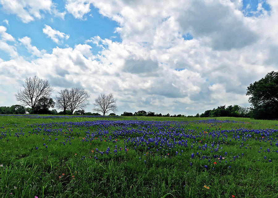 Classic Texas Bluebonnet Field. Lupinus Texensis by Connie Fox