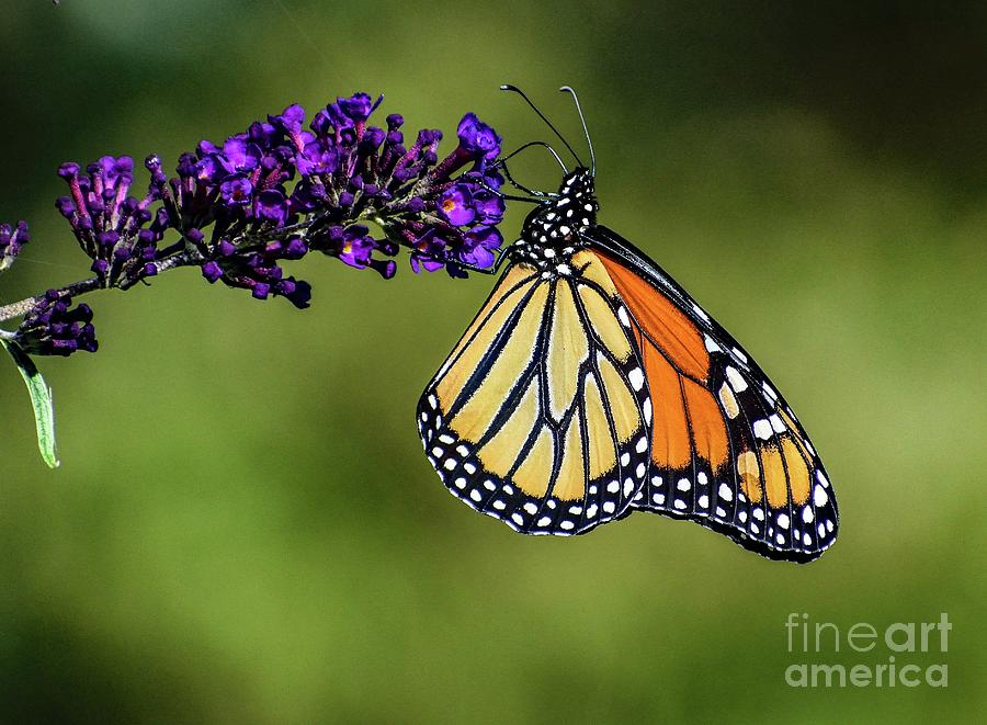 Classy Monarch Butterfly by Cindy Treger