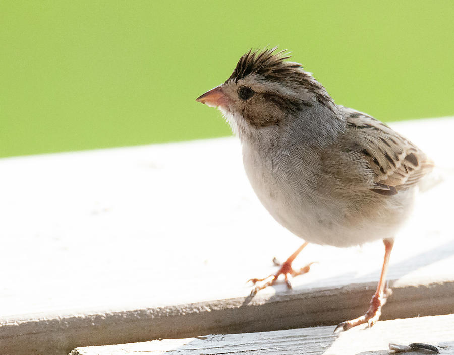 Clay-colored Sparrow by Philip Rispin