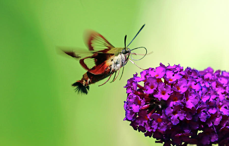 Clearwing Moth And Buddleia by Debbie Oppermann