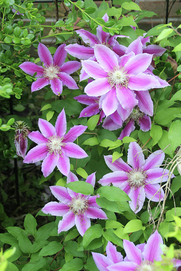 Clematis 1552 by Ericamaxine Price