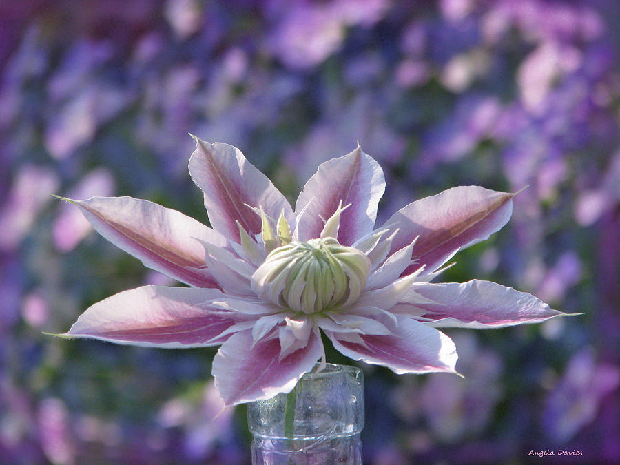 Clematis Curtain Call by Angela Davies