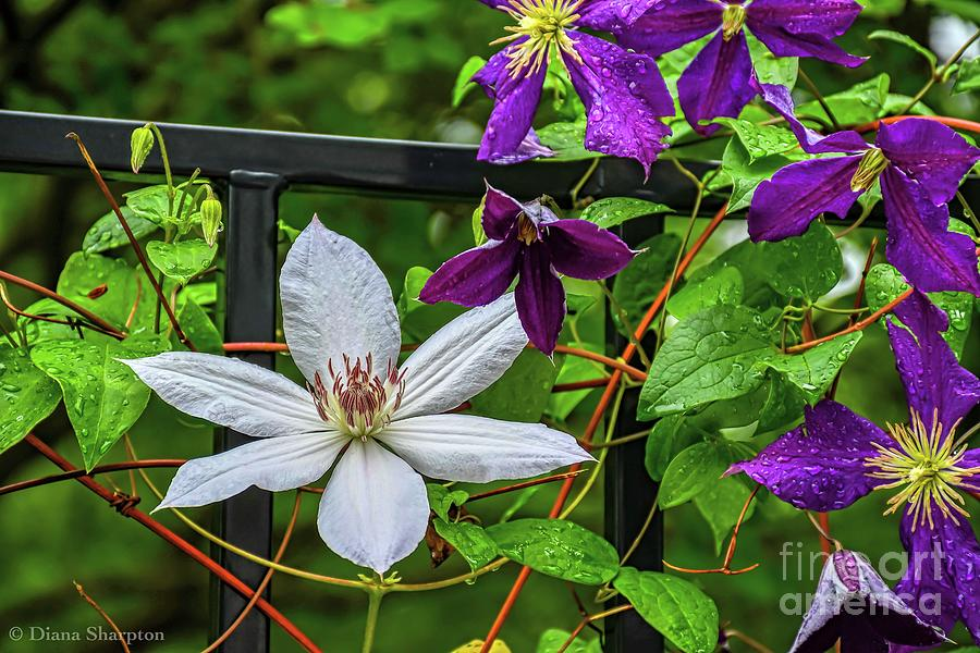 Clematis by Diana Mary Sharpton