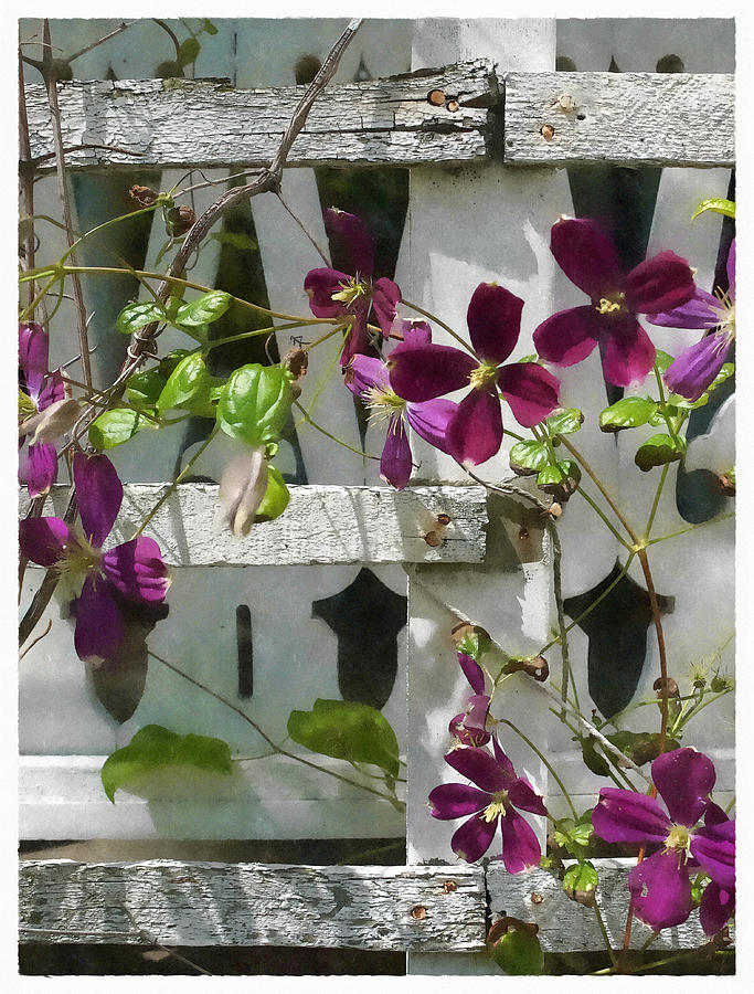 Clematis Photograph - Clematis  by Scott Kingery