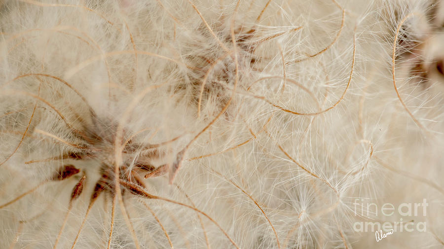 Clematis Seed Pods by Alana Ranney