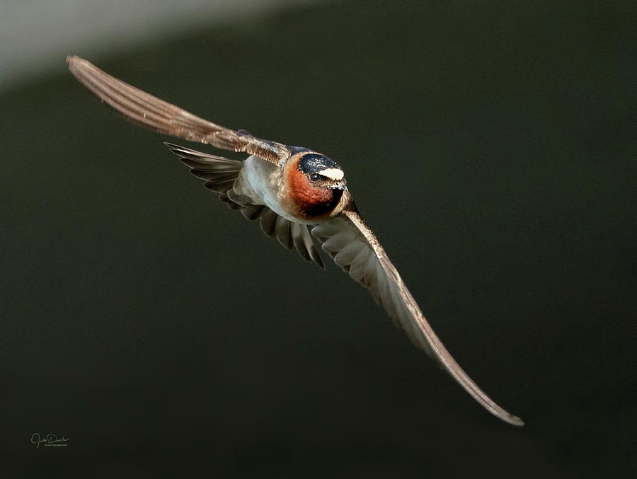 Cliff Swallow On the Move by Judi Dressler
