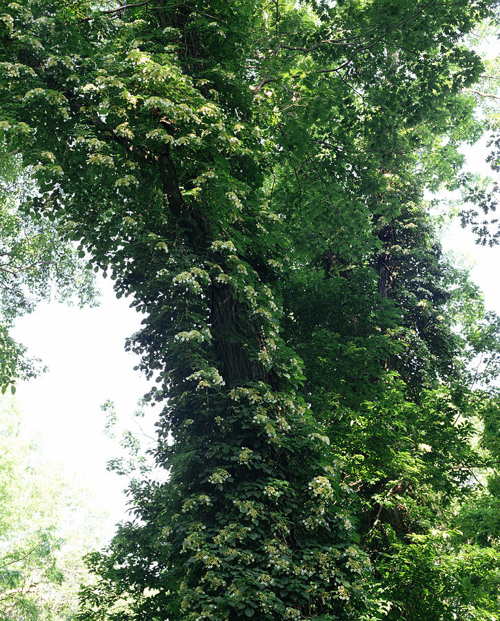 Climbing Hydrangea On Tree Trunk Photograph by Evan Sklar