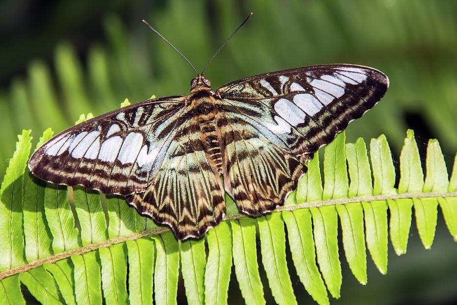 Clipper Butterfly 6393-040619 by Tam Ryan