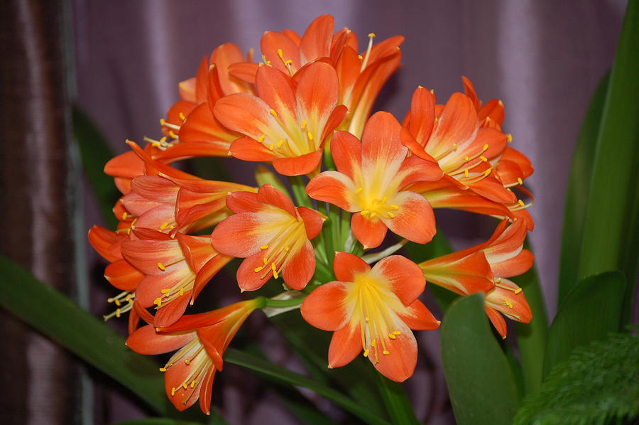 Flowers Photograph - Clivia Blossoms by Nancy Ayanna Wyatt