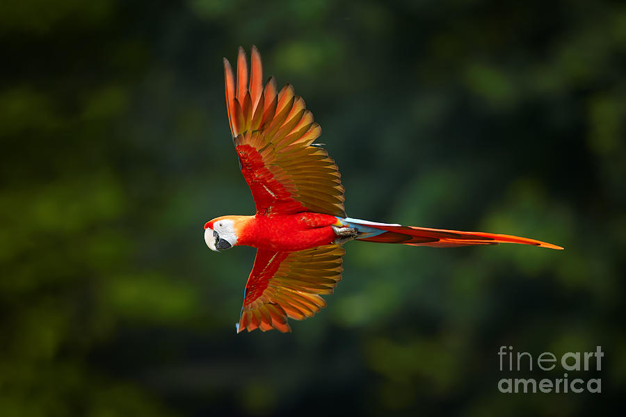Feather Photograph - Close Up Ara Macao, Scarlet Macaw, Red by Martin Mecnarowski