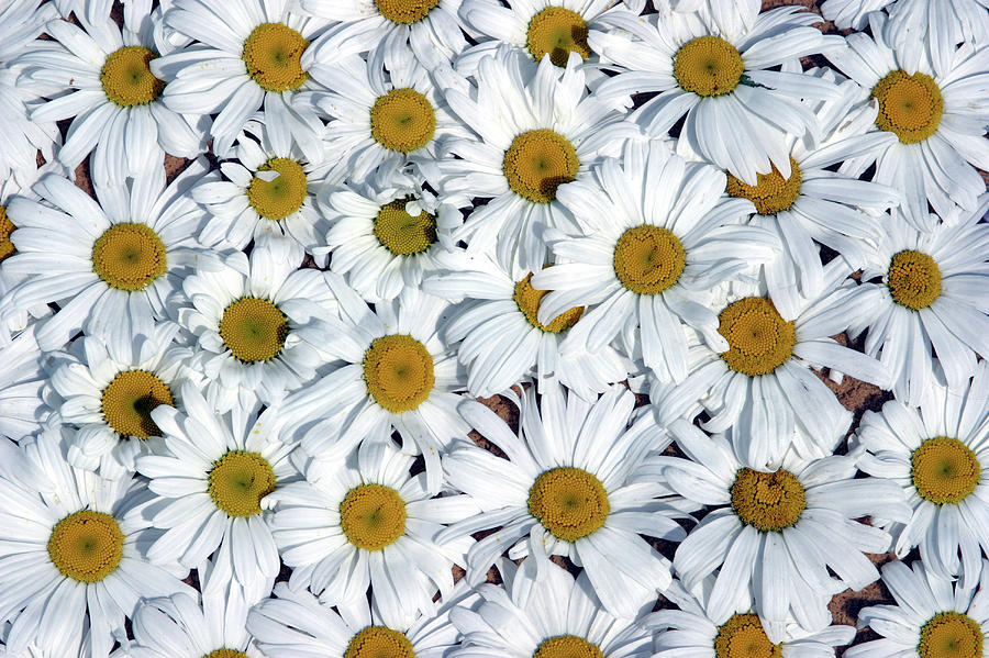 Close Up Field Of White And Yellow Photograph by Clu