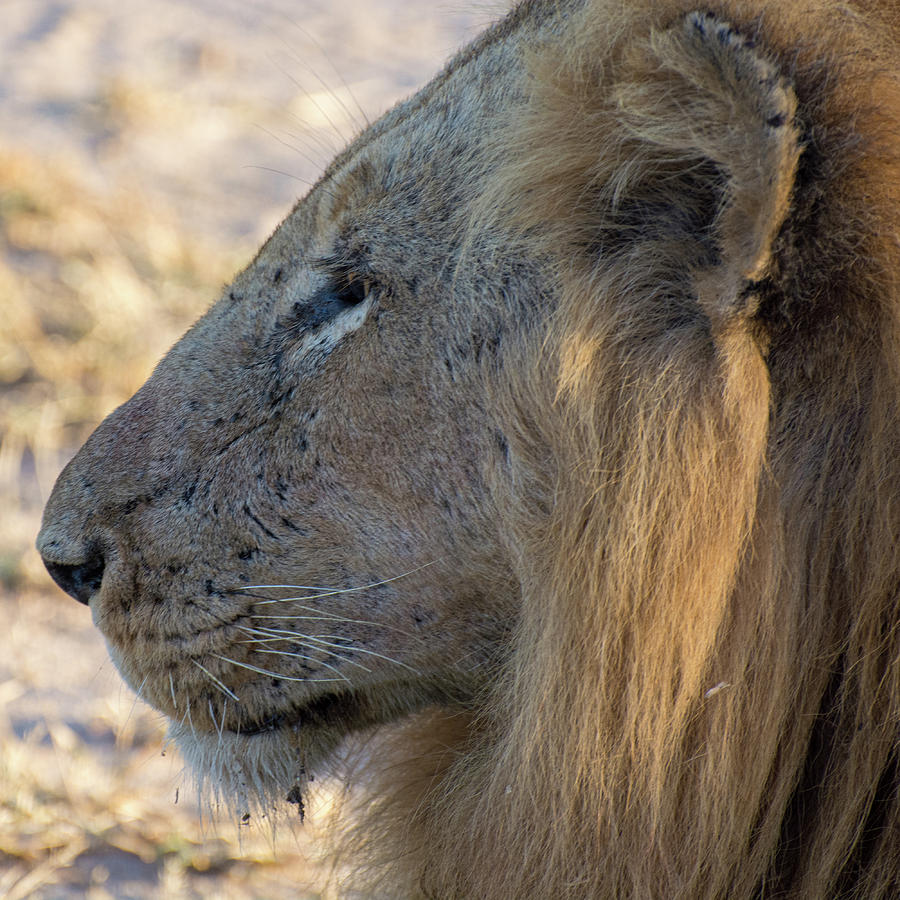 Close up Lion in Profile by Mark Hunter