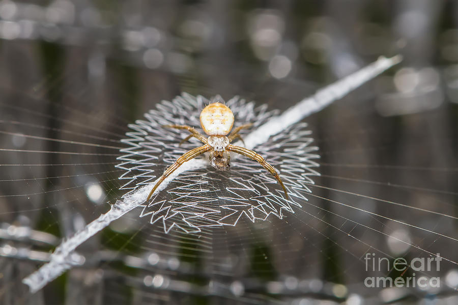 Arachnology Photograph - Close Up Macro Of Spider On Web by Nate Samui