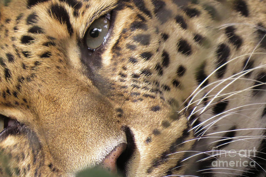 Leopard Photograph - Close-up by Mary Mikawoz