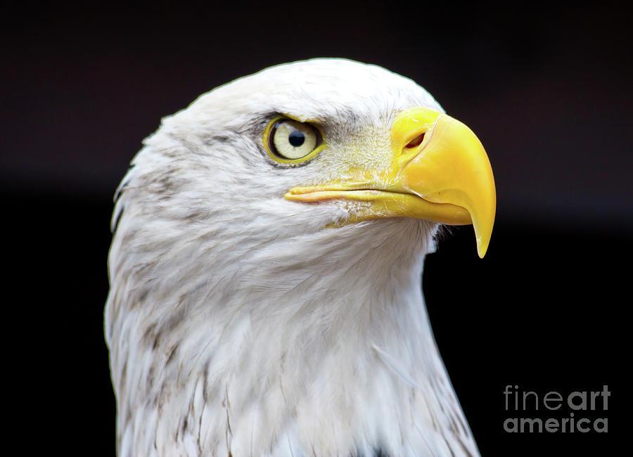 Close Up Of A Beautiful Bald Eagle Photograph by Sergio Mendoza Hochmann