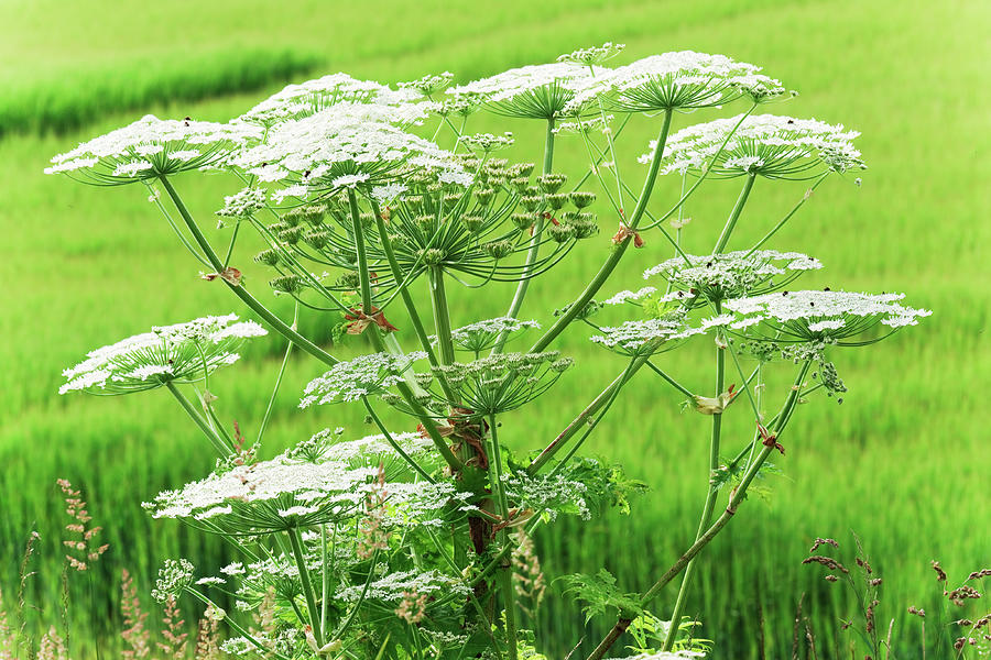 Close-up Of A Giant Hogweed Growing In Photograph by Lucentius
