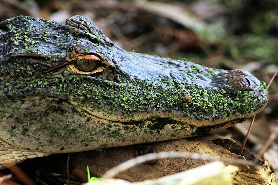 Close Up Of A Juvenile Alligator  by Carol Montoya