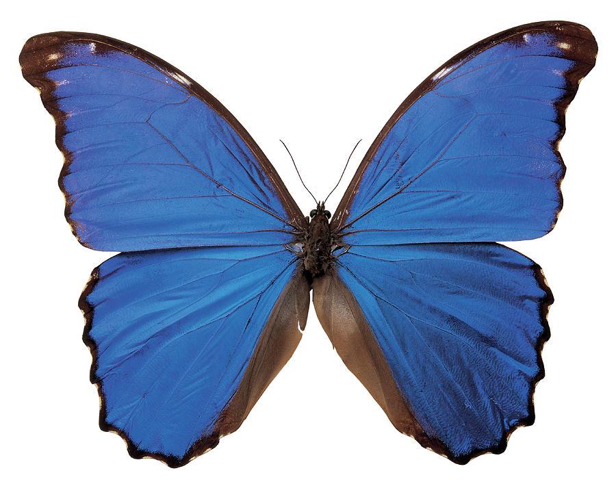White Background Photograph - Close-up Of A Nestira Marpho Butterfly by Stockbyte