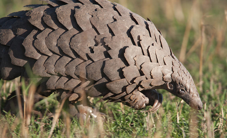 Close-up Of A Pangolin In Its Natural Photograph by Gp232