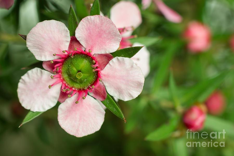 Pink Photograph - Close-up Of A Pink Manuka Leptospermum by Srekap
