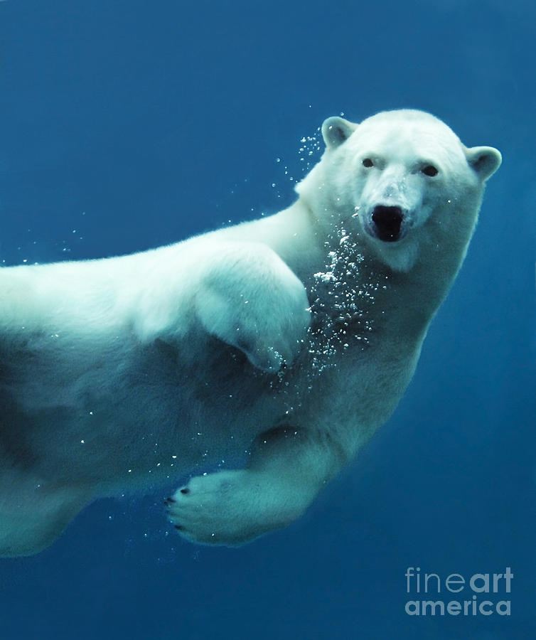 Big Photograph - Close-up Of A Swimming Polar Bear by Sylvie Bouchard