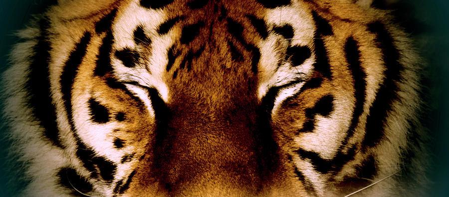 Close-up Of A Tiger, Yalta, Crimea Photograph by Win-initiative/neleman