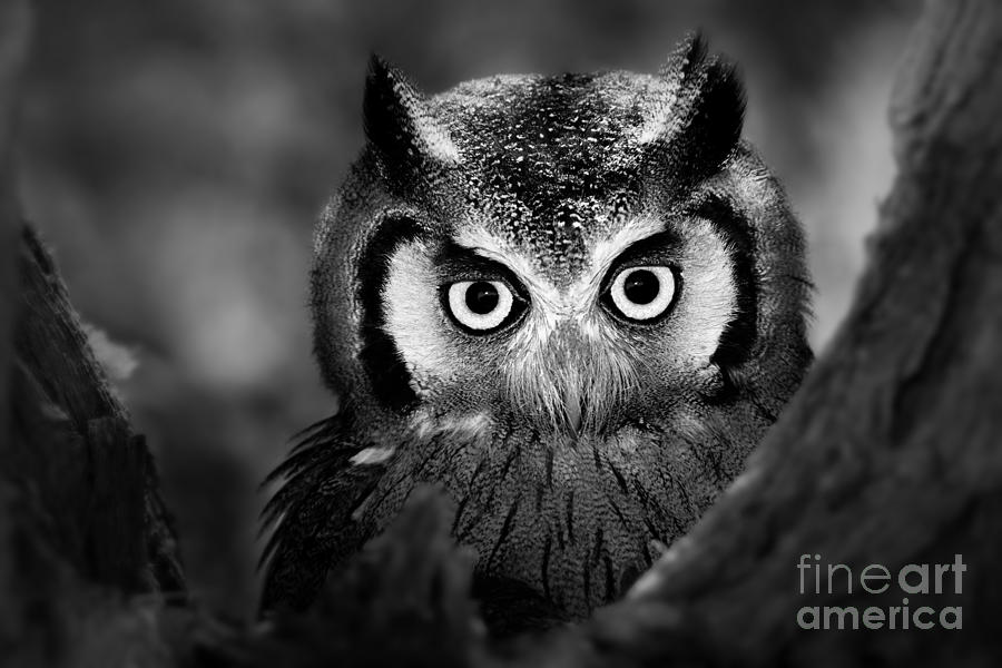 Big Photograph - Close-up Of A Whitefaced Owl Artistic by Johan Swanepoel
