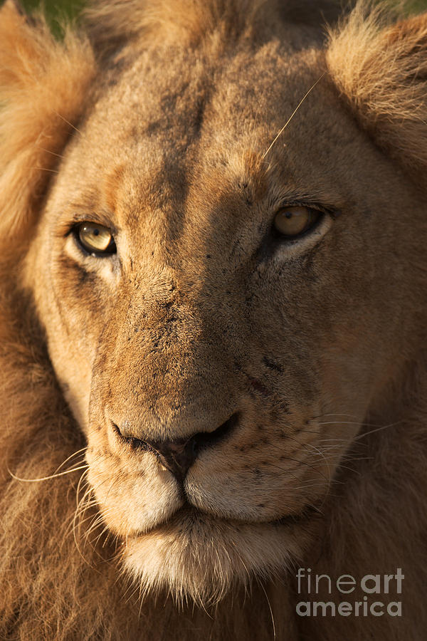 Big Photograph - Close-up Of A Young Male Lion Panthera by Johan Swanepoel