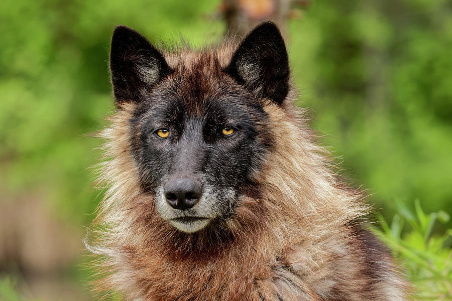 Adam Jones Photograph - Close-up Of Adult Male Gray Wolf, Canis by Adam Jones