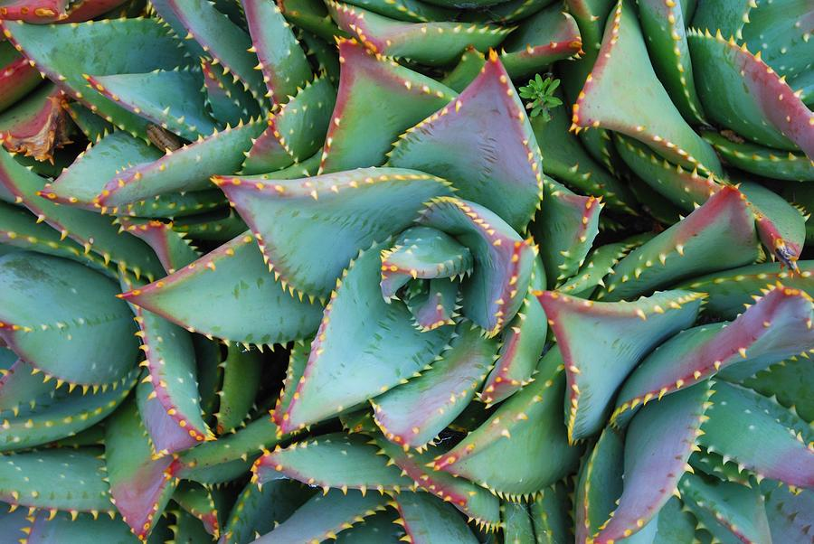 Close Up Of An Aloe Brevifolia Plant In Photograph by Lazingbee