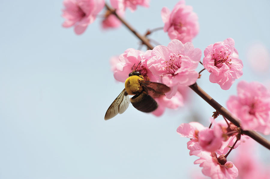 Close Up Of Bee Feeding On Peach Blossom Photograph by Fang Zhou