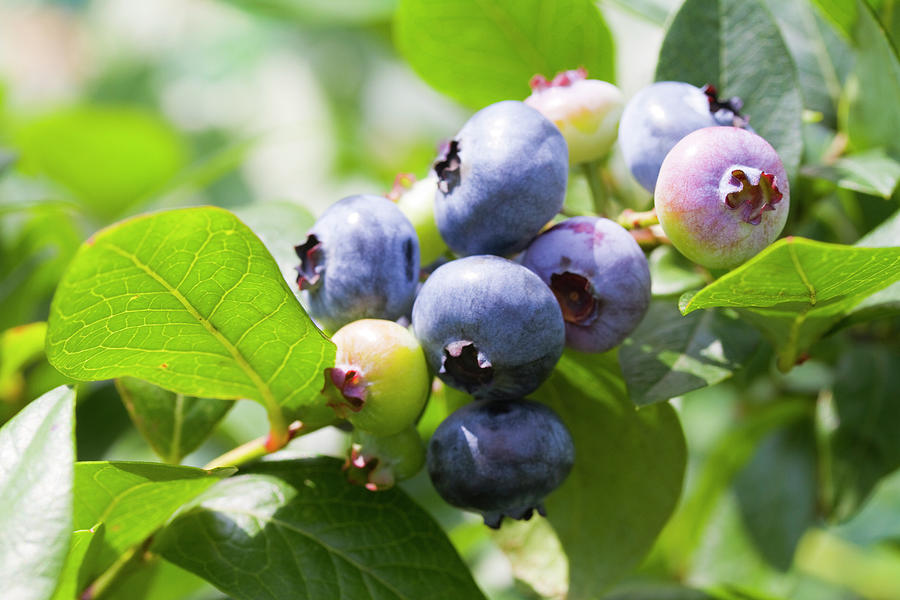 Close-up Of Blueberry Plant And Berries Photograph by Daisuke Morita