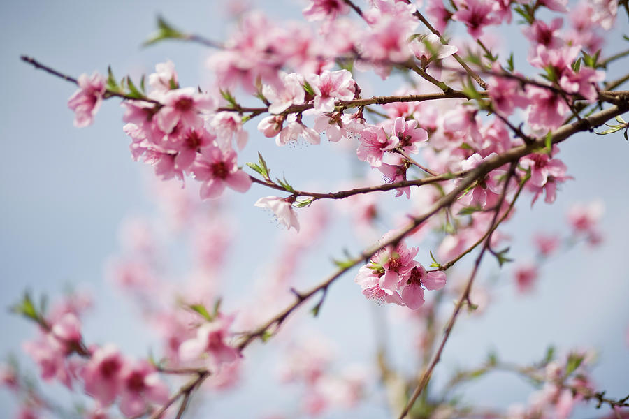 Close Up Of Cherry Blossoms On A Clear Photograph by Zekag