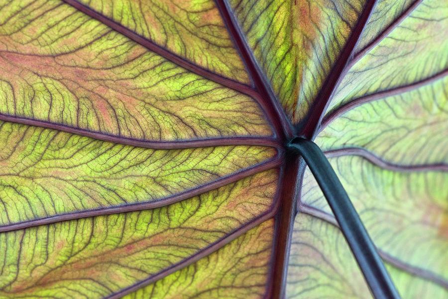 Close Up Of Colocasia Esculenta Leaf Photograph by Deb Casso