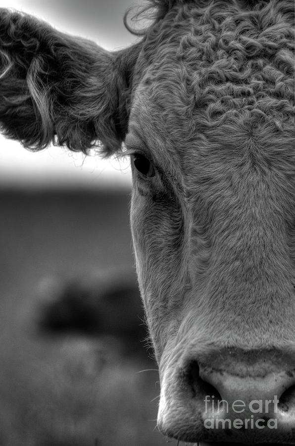 Close-up Of Cow Photograph by Lip