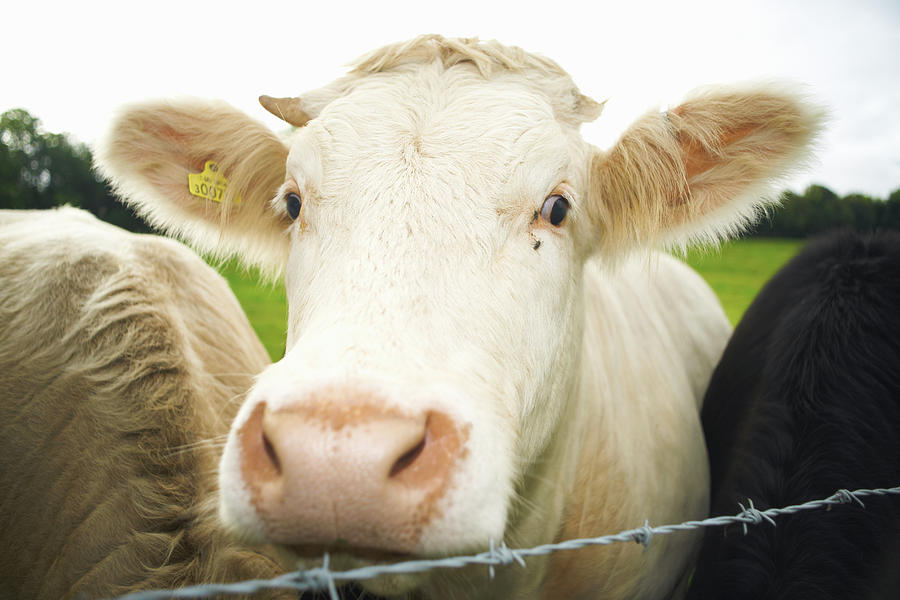Close Up Of Cows Face Photograph by Peter Muller