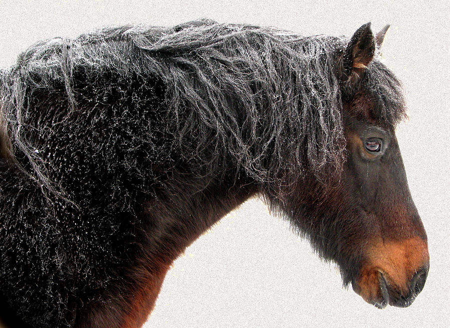 Close Up Of Dark Brown Horse Frosted Photograph by Anne Louise Macdonald Of Hug A Horse Farm