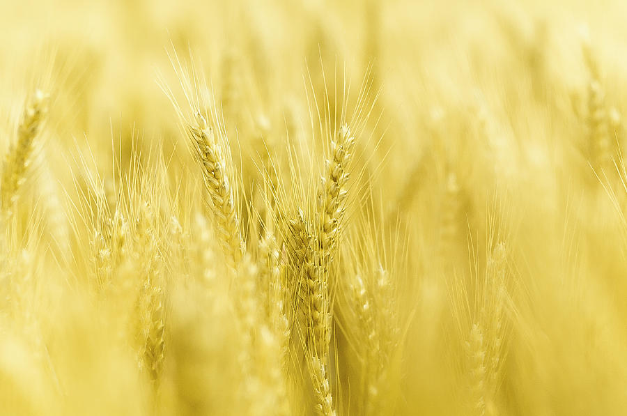 Close Up Of Ears Of Wheat In A Field