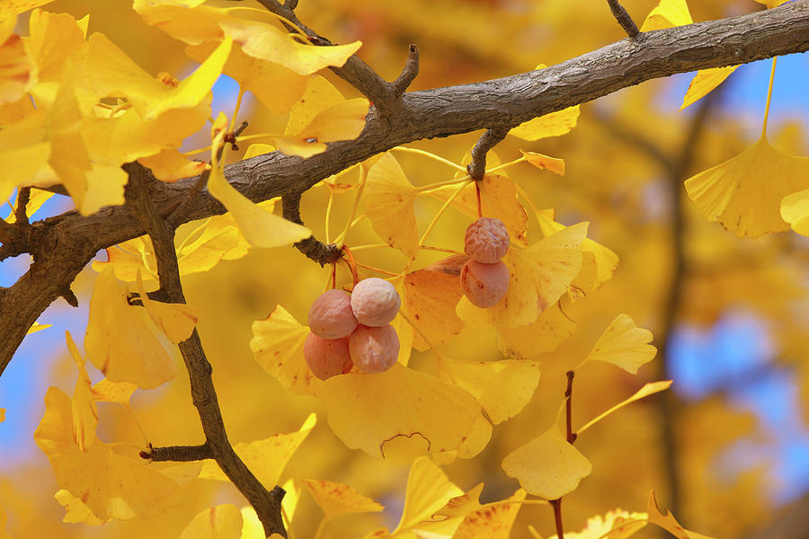 Close-up Of Gingko Tree In Autumn Photograph by Wada Tetsuo/a.collectionrf