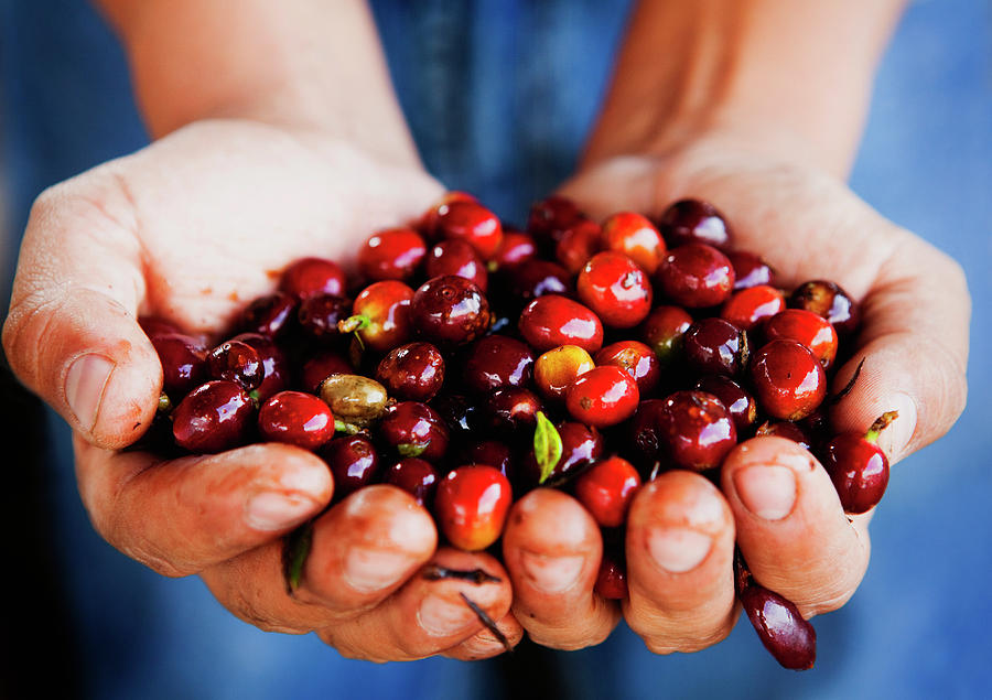 Close Up Of Hands Holding Coffee Beans Photograph by Pixelchrome Inc