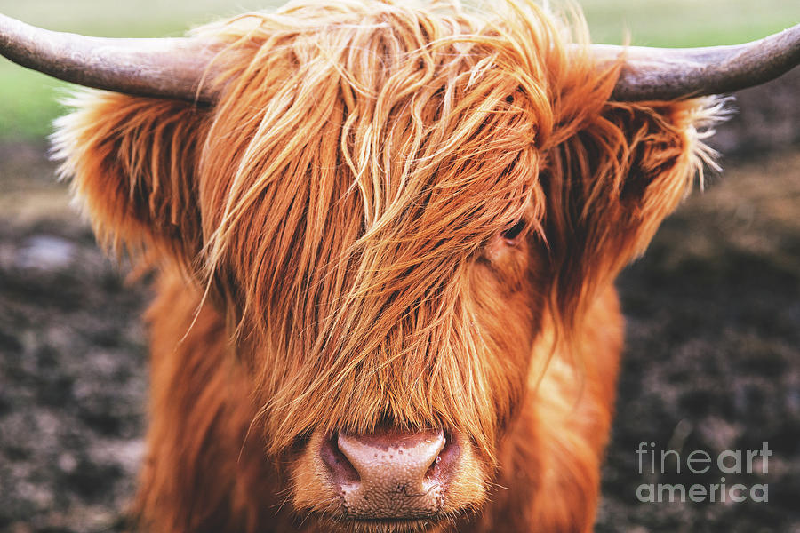 Close-up Of Highland Cow Photograph by Tom Eversley / Eyeem