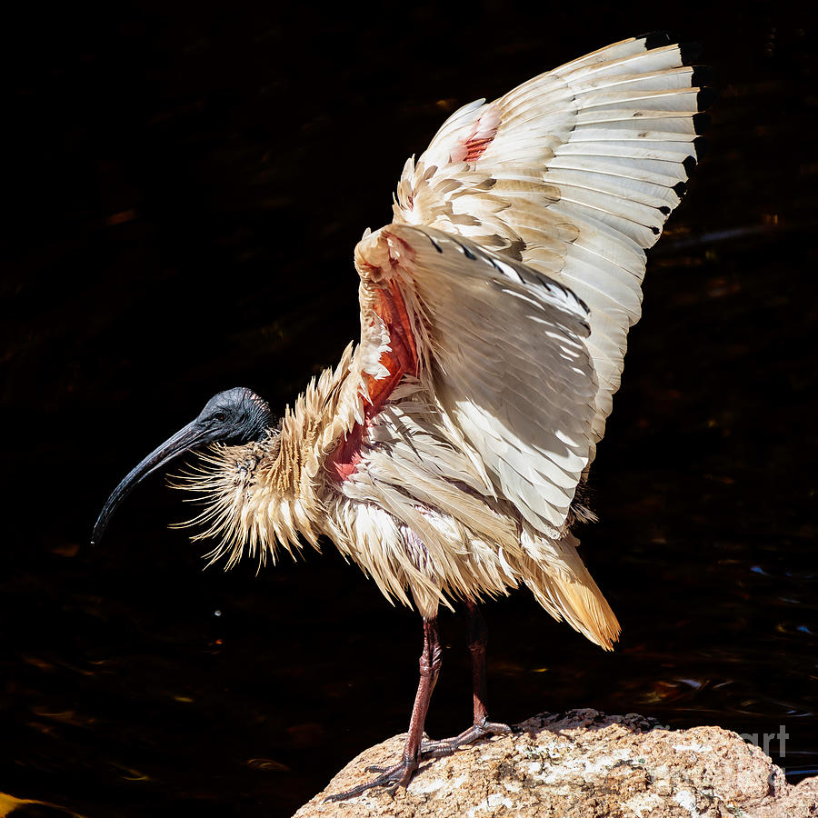 Close Up Of Huge Bird Waving Wings Photograph by Antonio Cobucci / 500px