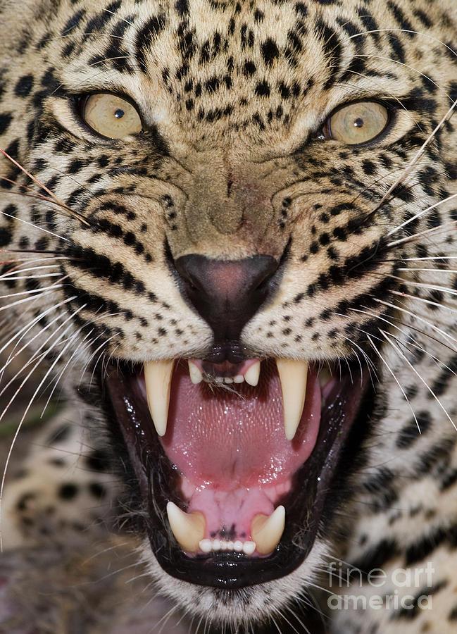 Close Up Of Leopard Growling Photograph by Wim Van Den Heever