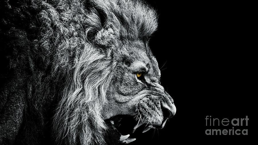 Close-up Of Lion Roaring Against Black Photograph by Visuen Vengaroo / Eyeem
