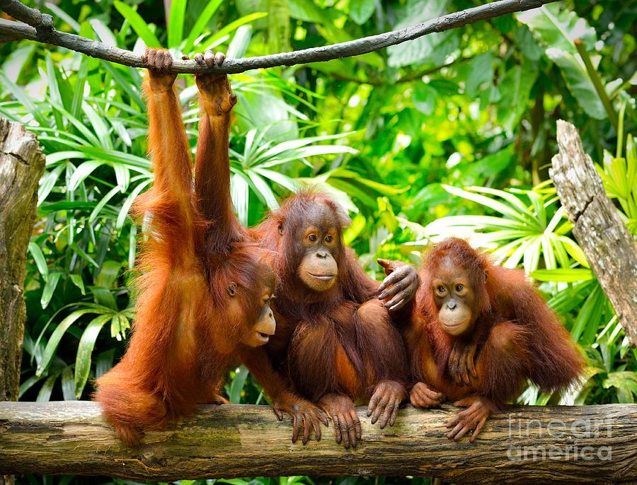 Fur Photograph - Close Up Of Orangutans, Selective Focus by Tristan Tan