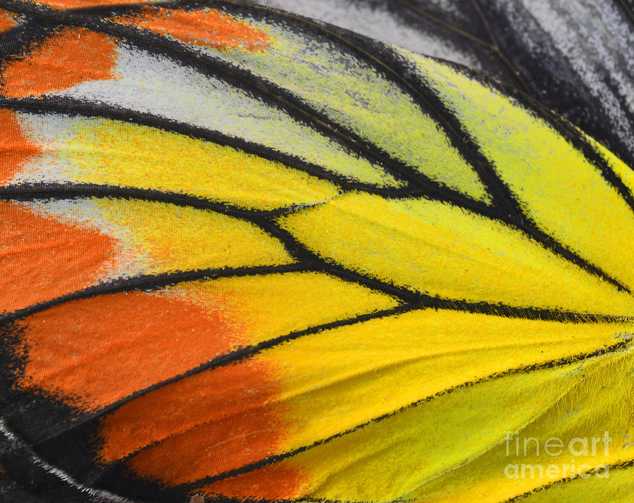 Antenna Photograph - Close Up Of Painted Jezebel Butterflys by Super Prin