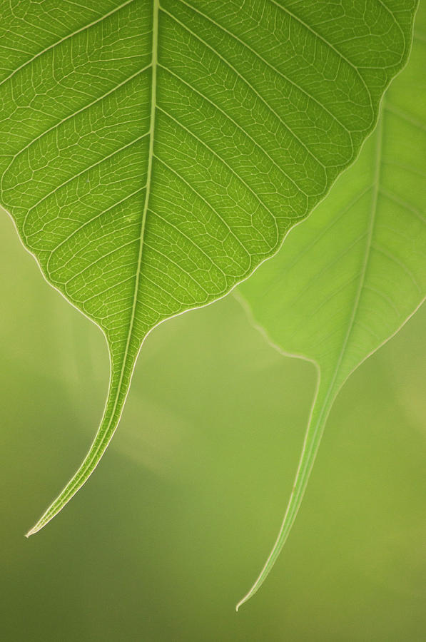 Close Up Of Peepal Leaves Photograph by Rahul De