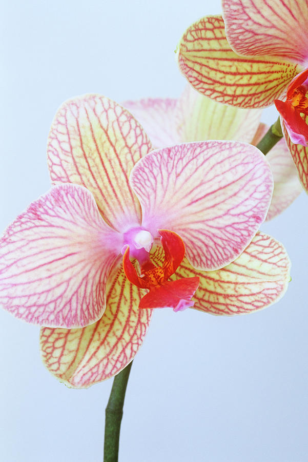 White Background Photograph - Close Up Of Phalaenopsis Orchid Flower by Linda Burgess