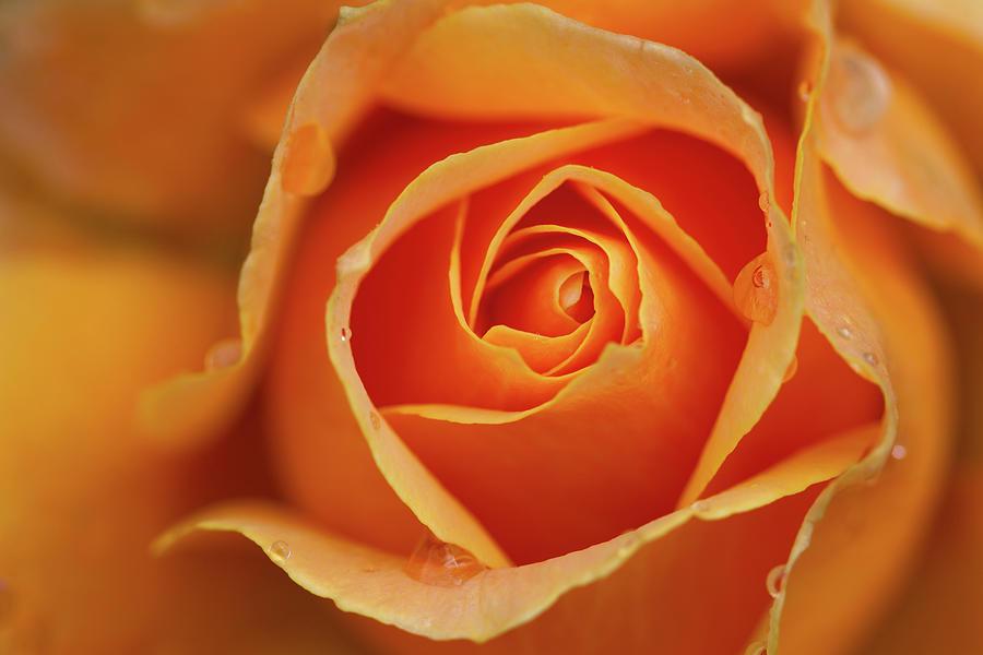 Close Up Of Rose Photograph by Junichi Ishito